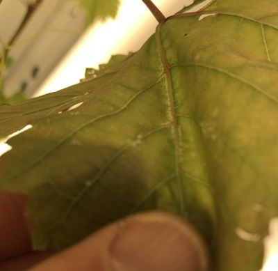 Research - treated leaf