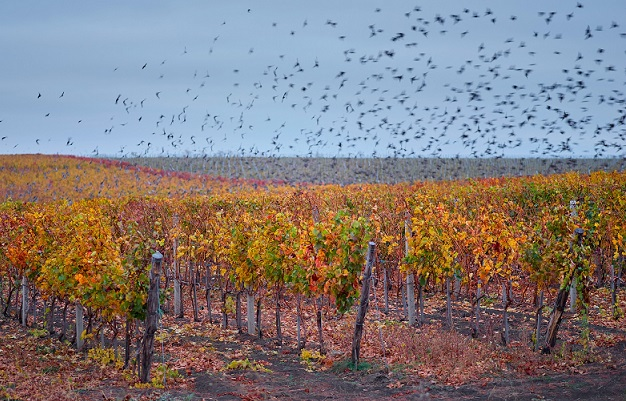 Birds in vineyard resize