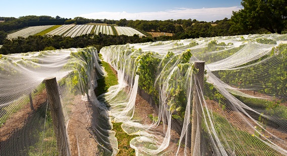 Are nets the most effective way to protect grapes from birds?